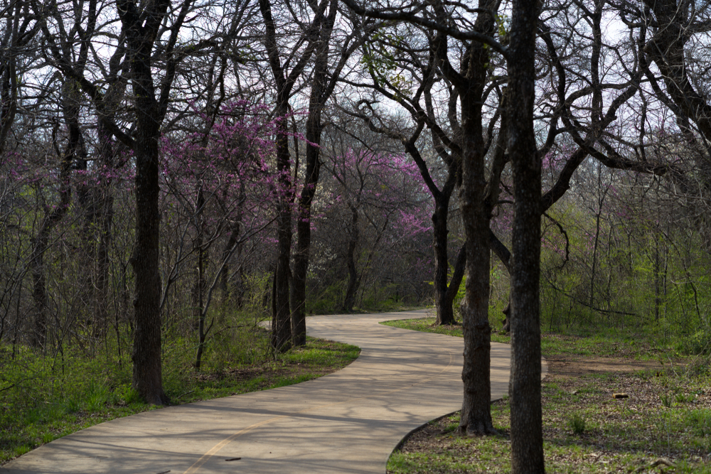 A paved trail surrounded by trees. The trees have curving branches and very few leaves on them. You can see some pink flowers on a few of the trees. There is some tall green grass and green shrubs.