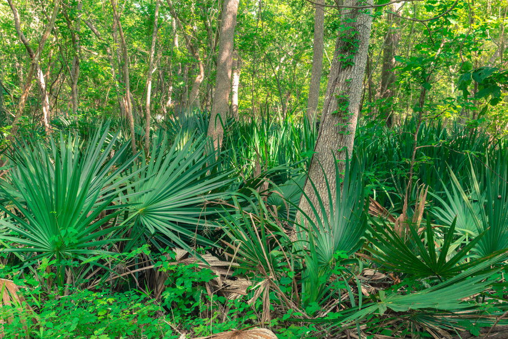 A forest landscape in Texas. On the ground you can see grasses and plants. But most of the space is taken up by dwarf palmetto plants.  They look like mini palm trees. You can see the trunks of larger trees.