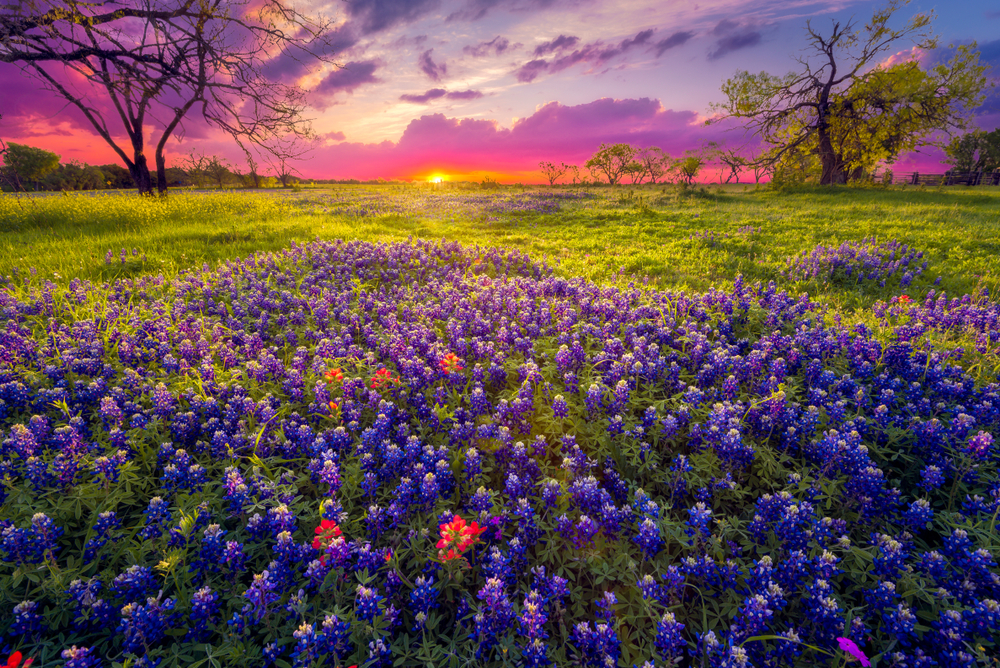 A field of Bluebells in a grassy meadow. There are a few trees in the meadow too. The sun is setting so the sky is blue, purple, pink, and just a tad bit orange.