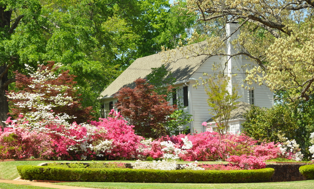White colonial house surrounded by white and pink azalea flower and many trees found on the Azalea Trail in East Texas.