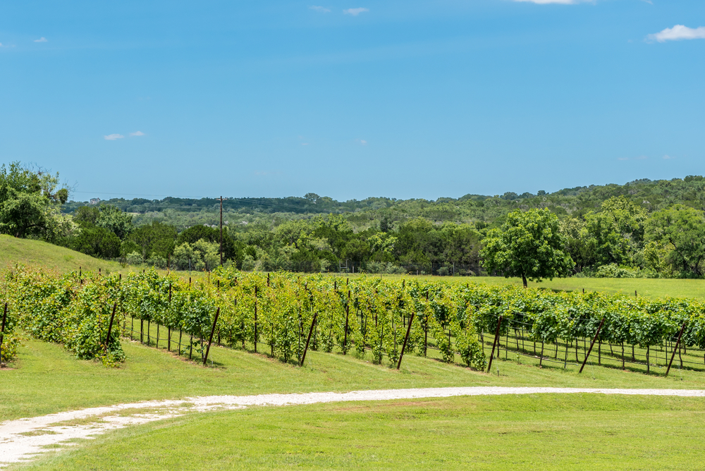 Rows of grapes growing at a winery on the Piney Woods Wine Trail, one of the tastiest things to do in East Texas.