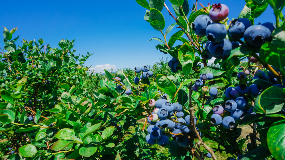 Close up of blueberry plants with a clear blue sky in the background.