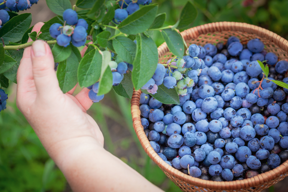 A person's hand harvesting blueberries into a woven basket already containing tons of blueberries.