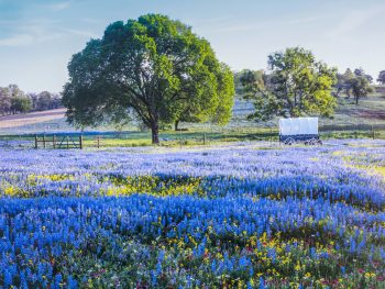 bluebonnets with tree one of the best things to do in texas hill country
