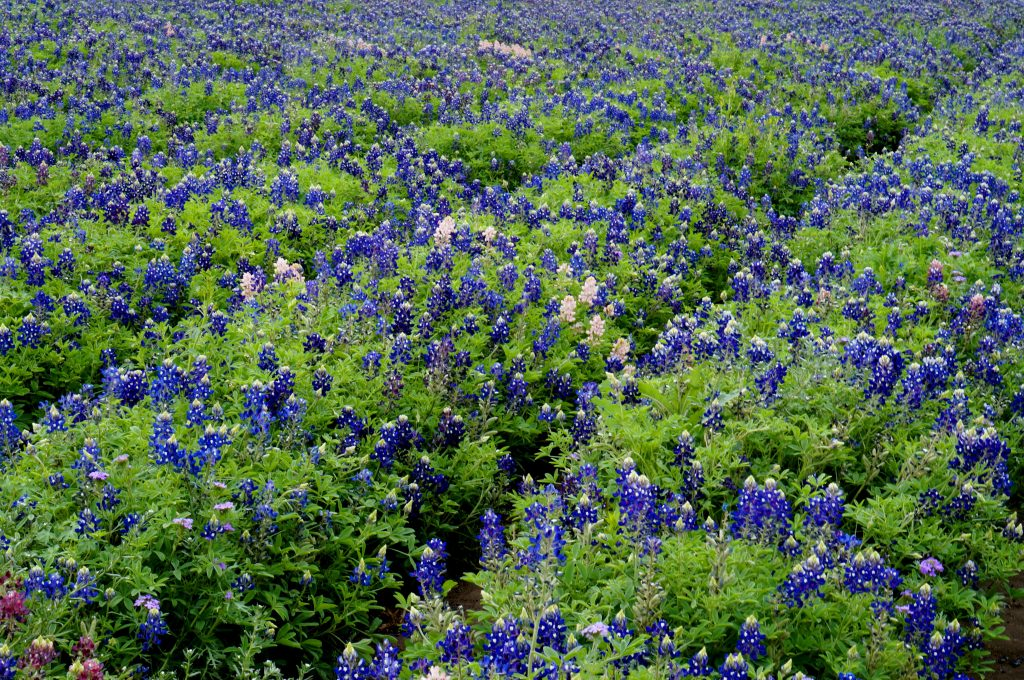 close up of Bluebonnets in a field