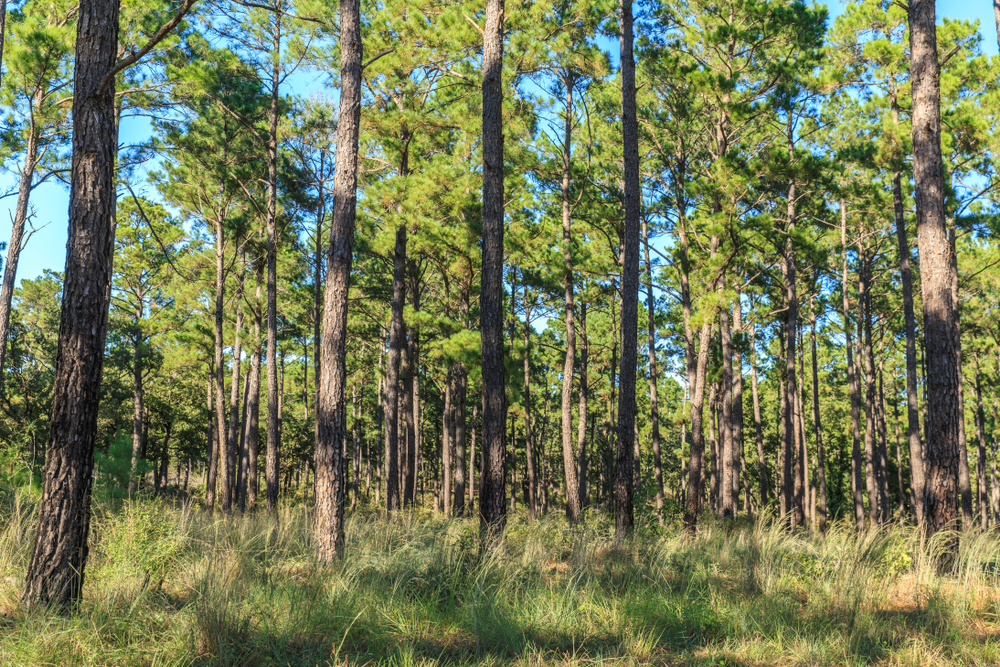 swath of land filled with towering pine trees day trips from Austin