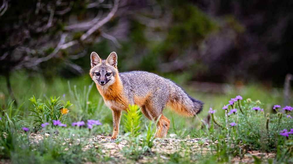 a gray fox standing in a grassy field