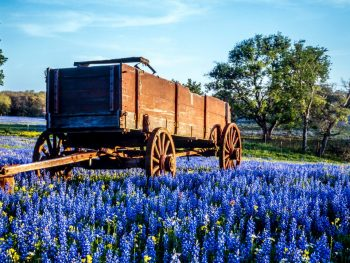 photo of bluebonnets in Texas with a wagon and blue sky