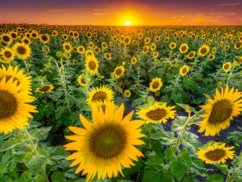 field of sunflowers with the sunset in the background