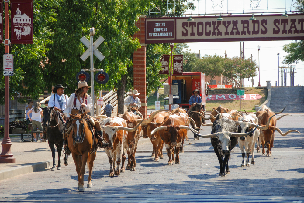 Photo of Texas longhorns being led down the street by people on horses with cowboy hats at The Stockyards, one of the best things to do in Fort Worth.
